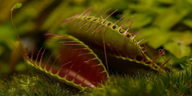 venus atrapamoscas planta carnivora