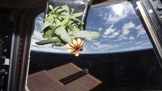 flor espacial zinnia